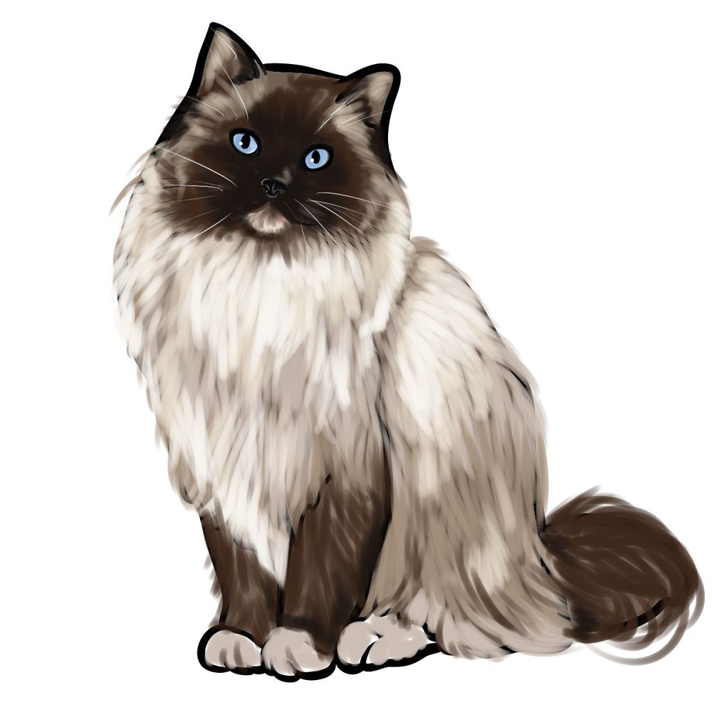 How to draw the Ragdoll cat