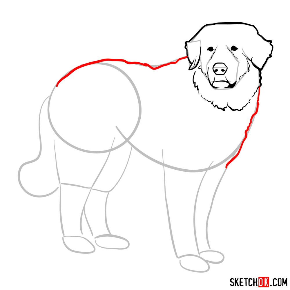 How to draw a Great Pyrenees - step 07