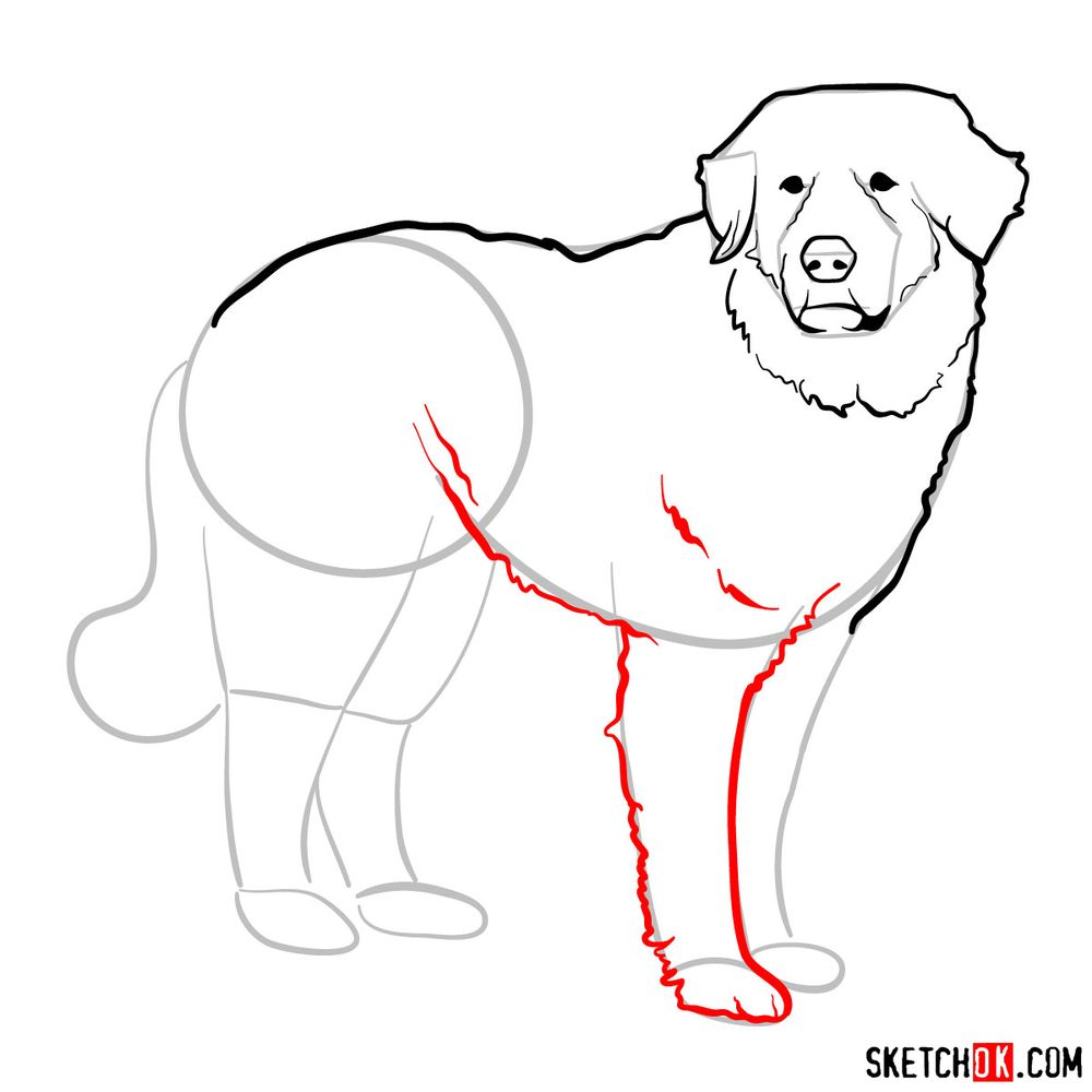 How to draw a Great Pyrenees - step 08