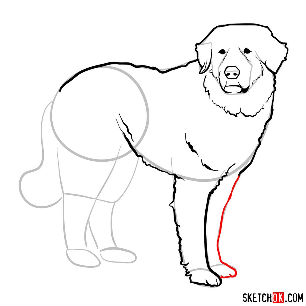 How to draw a Great Pyrenees - step 09