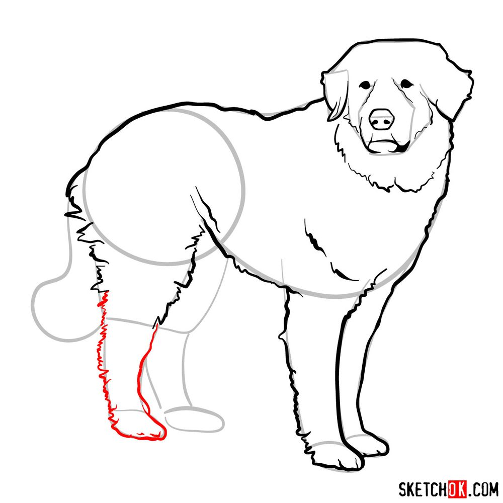 How to draw a Great Pyrenees - step 11