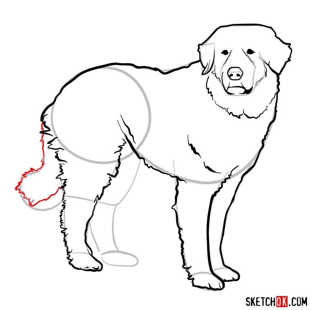 How to draw a Great Pyrenees - step 12