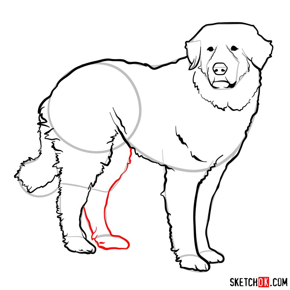 How to draw a Great Pyrenees - step 13