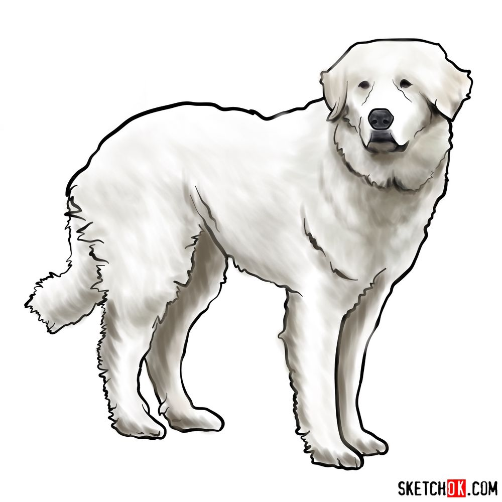 How to draw a Great Pyrenees dog